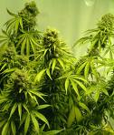 Cogollos, flores marihuana