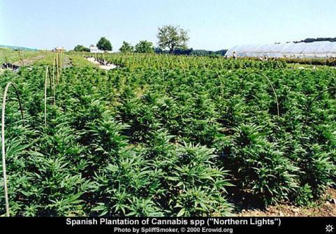 cannabis_field.jpg